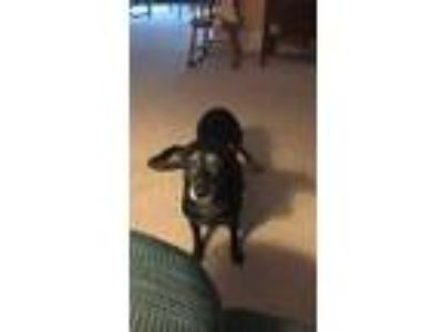 Adopt Onie a Black Dachshund / Mixed dog in Johnstown, PA (25324309)
