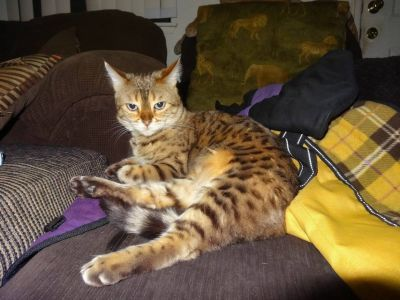 LOST MY BENGAL CAT 7 yrs old! TAKES MEDS! $500.00 REWARD!!!
