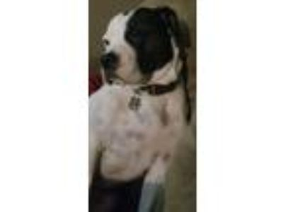 Adopt Katie a Black - with White American Pit Bull Terrier dog in Cape Coral