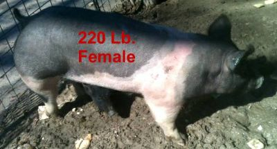 FEMALE  SOW HOG  SHOW PIG FOR SALE NOW (TOP QUALITY)