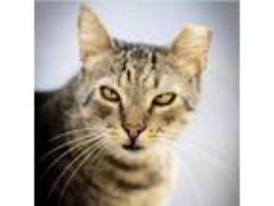 Adopt Cooper a Brown or Chocolate Domestic Shorthair cat in Los Angeles