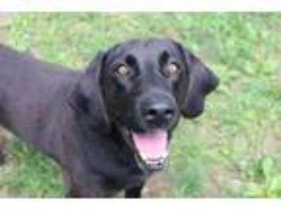Adopt Julian a Labrador Retriever