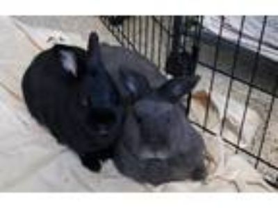 Adopt Eugene & April a Black Dwarf / Mixed rabbit in Paradis, LA (25100189)
