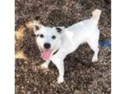 Adopt Patrick a White Jack Russell Terrier / Mixed dog in DeKalb, IL (25356886)