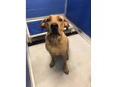 Adopt Tucker a Brown/Chocolate Mixed Breed (Large) / Mixed dog in Land O'Lakes