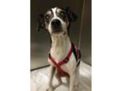 Adopt Lucky a Rat Terrier / Mixed dog in Grand Rapids, MI (25361344)