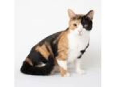 Adopt Cricket a Orange or Red Domestic Shorthair / Domestic Shorthair / Mixed