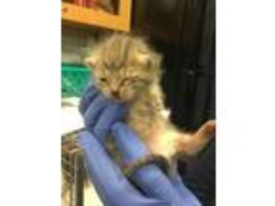 Adopt Jojo -adopted a Gray or Blue Domestic Shorthair / Domestic Shorthair /