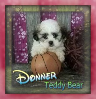 Donner Female Teddy Bear Shih-Chon