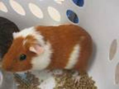 Adopt Stewart a Tan or Beige Guinea Pig / Guinea Pig / Mixed small animal in