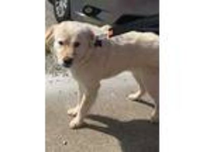 Adopt Dawson a White Labrador Retriever / Mixed dog in Henderson, KY (25225896)