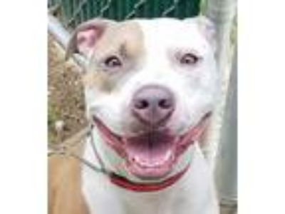Adopt Aiden a Pit Bull Terrier, Mixed Breed