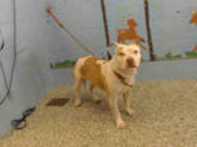 Adopt NEEDS RESCUE a Brown/Chocolate - with White American Pit Bull Terrier /