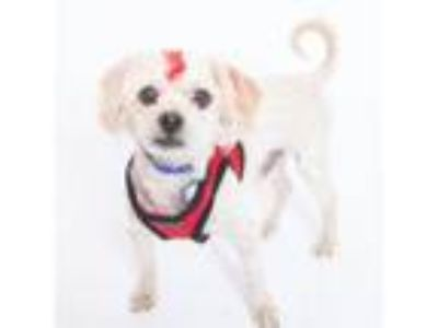 Adopt Hayes a Poodle, Mixed Breed