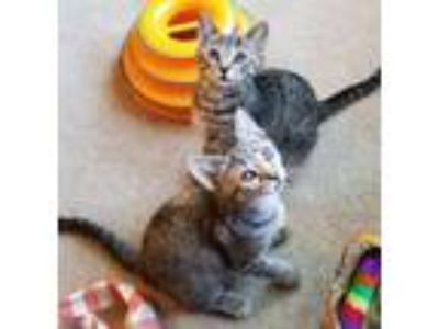 Adopt Cato a Tabby