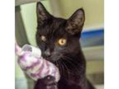 Adopt Sandy a Domestic Shorthair / Mixed (short coat) cat in St.