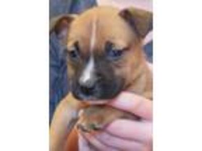 Adopt Samantha a Brown/Chocolate Terrier (Unknown Type, Small) / Mixed dog in