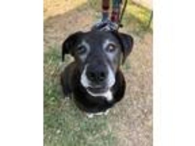Adopt Hercules a Black Labrador Retriever / Mixed dog in Fort Worth