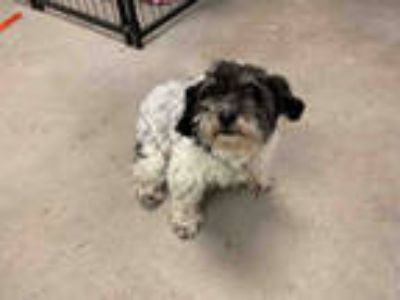 Adopt *SAFFRON a Black - with White Shih Tzu / Poodle (Miniature) / Mixed dog in