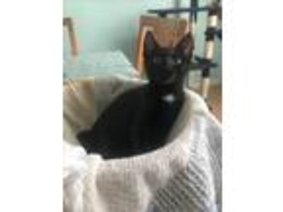 Adopt Izzy a Black (Mostly) Domestic Shorthair (short coat) cat in Carlisle