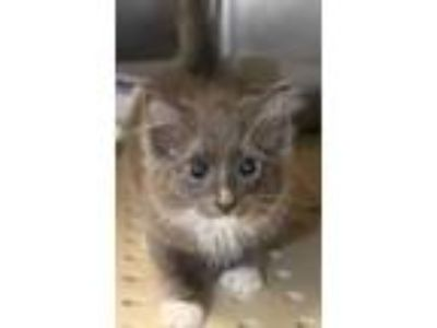 Adopt Melon a Gray or Blue Domestic Longhair / Domestic Shorthair / Mixed cat in