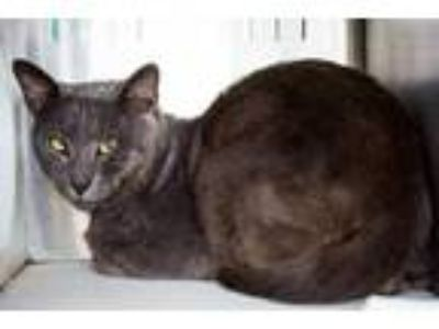 Adopt *SMOKES a Gray or Blue Domestic Shorthair / Mixed (short coat) cat in