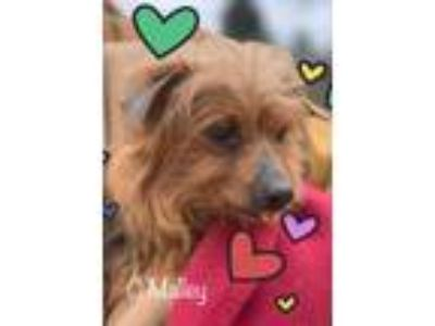 Adopt O'Malley a Yorkshire Terrier, Mixed Breed