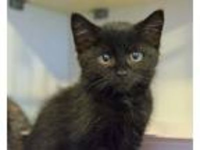Adopt Dragonfly a Domestic Short Hair