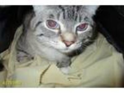 Adopt CESAR a Gray or Blue (Mostly) Domestic Shorthair / Mixed (short coat) cat