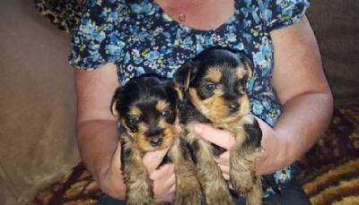 AKC Male & females Yorkie Puppy 11 weeks old