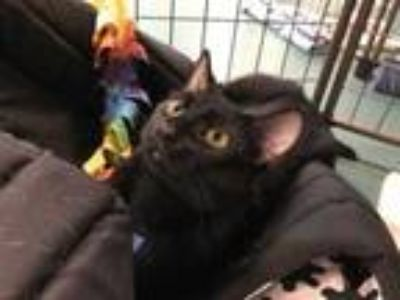 Adopt Angela a All Black Domestic Shorthair / Domestic Shorthair / Mixed cat in