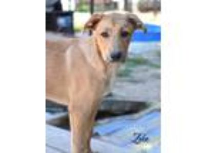 Adopt Zeke a Tan/Yellow/Fawn Golden Retriever / Labrador Retriever / Mixed dog