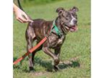 Adopt Whitney a Brindle Mixed Breed (Medium) dog in Jacksonville, FL (25522261)