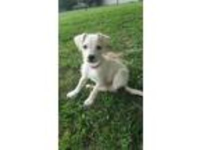 Adopt Dex a White - with Tan, Yellow or Fawn Terrier (Unknown Type