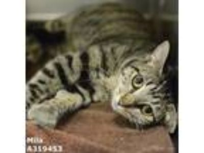 Adopt MILA a Brown Tabby Domestic Shorthair / Mixed (short coat) cat in Conroe