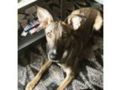 Adopt Jenga a Black - with Tan, Yellow or Fawn German Shepherd Dog / Greyhound /