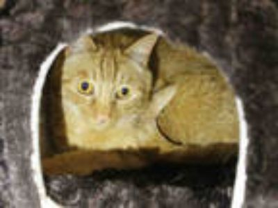 Adopt FELIX a Orange or Red Tabby Domestic Shorthair / Mixed (short coat) cat in