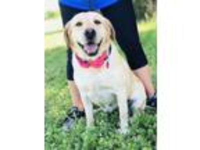 Adopt Courtney a Tan/Yellow/Fawn Labrador Retriever / Mixed dog in Berkeley