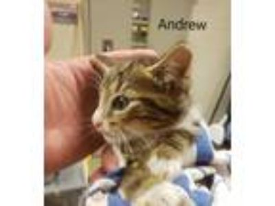 Adopt Andrew (Glenstone Ct) a Domestic Short Hair