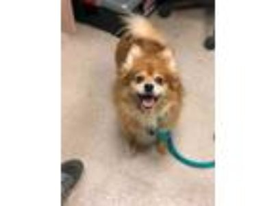 Adopt Star a Red/Golden/Orange/Chestnut Pomeranian / Mixed dog in Philadelphia