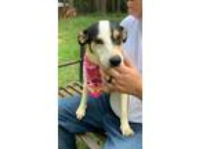 Adopt Birdie a Tricolor (Tan/Brown & Black & White) Rat Terrier / Mixed dog in