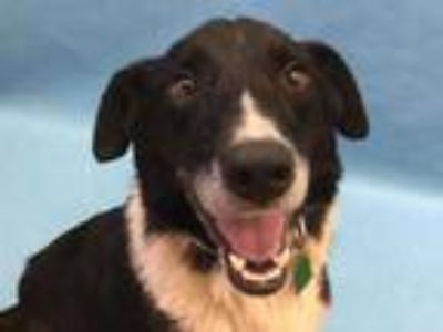 Adopt Griffin a Black Border Collie / Mixed dog in Coon Rapids, MN (25349505)