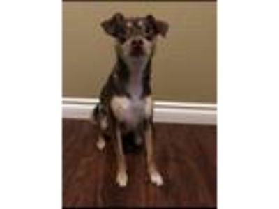 Adopt Ruby a Brown/Chocolate - with White Fox Terrier (Toy) dog in Puyallup