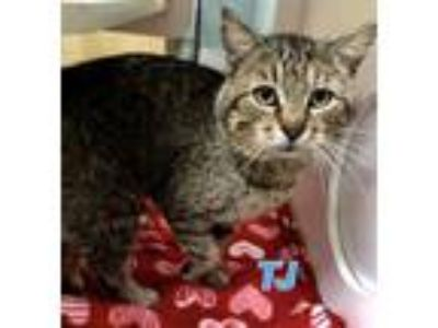 Adopt Tj 116262 a Brown or Chocolate Domestic Shorthair (short coat) cat in