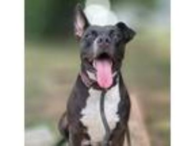 Adopt *Layla a Boston Terrier