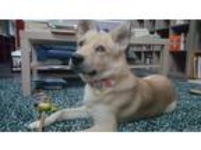 Adopt Riker a Tan/Yellow/Fawn - with White Canaan Dog / Husky dog in Raleigh
