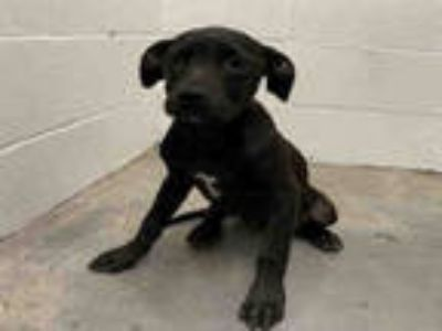 Adopt a Black Labrador Retriever / Mixed dog in Rosenberg, TX (25300293)