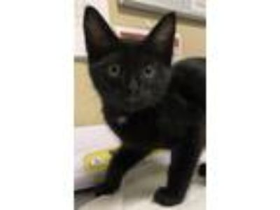Adopt Chalk Board a Domestic Shorthair / Mixed cat in Oceanside, CA (25490093)