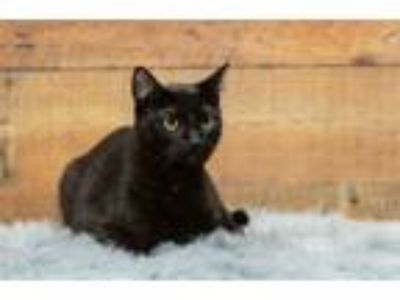 Adopt Bear a Domestic Shorthair / Mixed cat in Lake Jackson, TX (21980461)