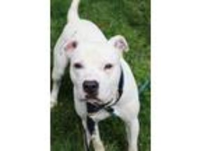 Adopt Bernard a White American Pit Bull Terrier / Mixed dog in Anderson